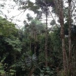 brazil trees
